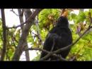 Пение чёрного дрозда. Питер.  Май 2016