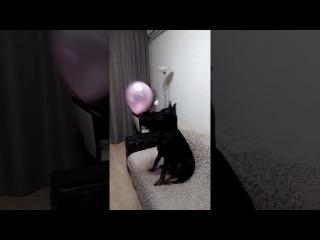 Доберман играет в шарик/Дон Кагюст/Смешные собаки