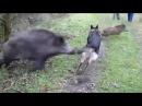 Собака против волка и кабана/dog vs Wolf and boars. Смешное видео про собак