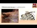 Мышцы и фасции груди строение функции кровоснабжение иннервация