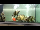 indo tiger and siam tiger