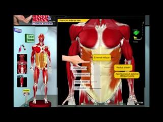 Биомеханика мышц живота  Анатомия и 3D анализ упражнений