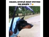 собакен который любит гулять под дождем)))