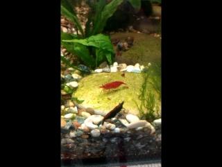 креветки красная и черная