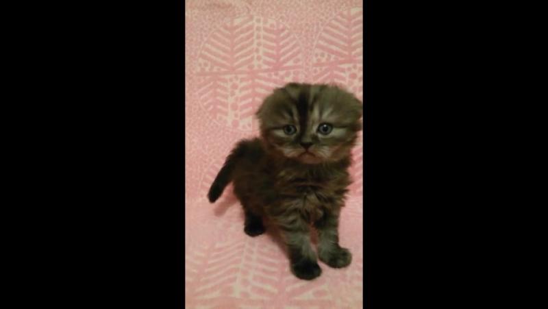 Вислоухий котик, черный серебристый мраморный