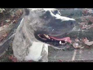 Аланская собака (испания)