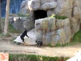 Crazy Chimps Fighting - Ща Зарежю