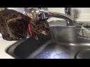水が全然飲めてない猫ちゃん lv-reig 蛇口から出る水に頭から突っ込む28381