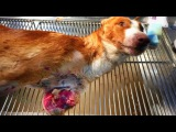 Amazing recovery of dog shot at close range and left to die on the mountains