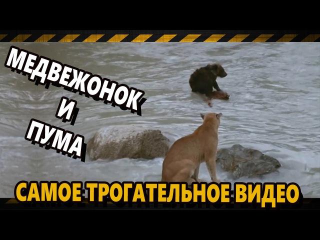 Медвежонок спасается от пумы. Трогательное красивое видео.