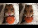 Хомячок кушает морковку