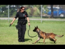 Miami Police K-9 Unit Training Session. Patrol Dog. Attack to suspect.
