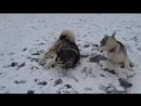 собачьи бои на льду