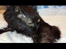 Безлапый кот Илай который живет в приюте Дари добро Новосибирск Animals with disabilities need help