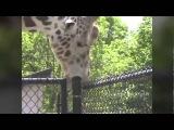 Giraffe Sucking On A Pole