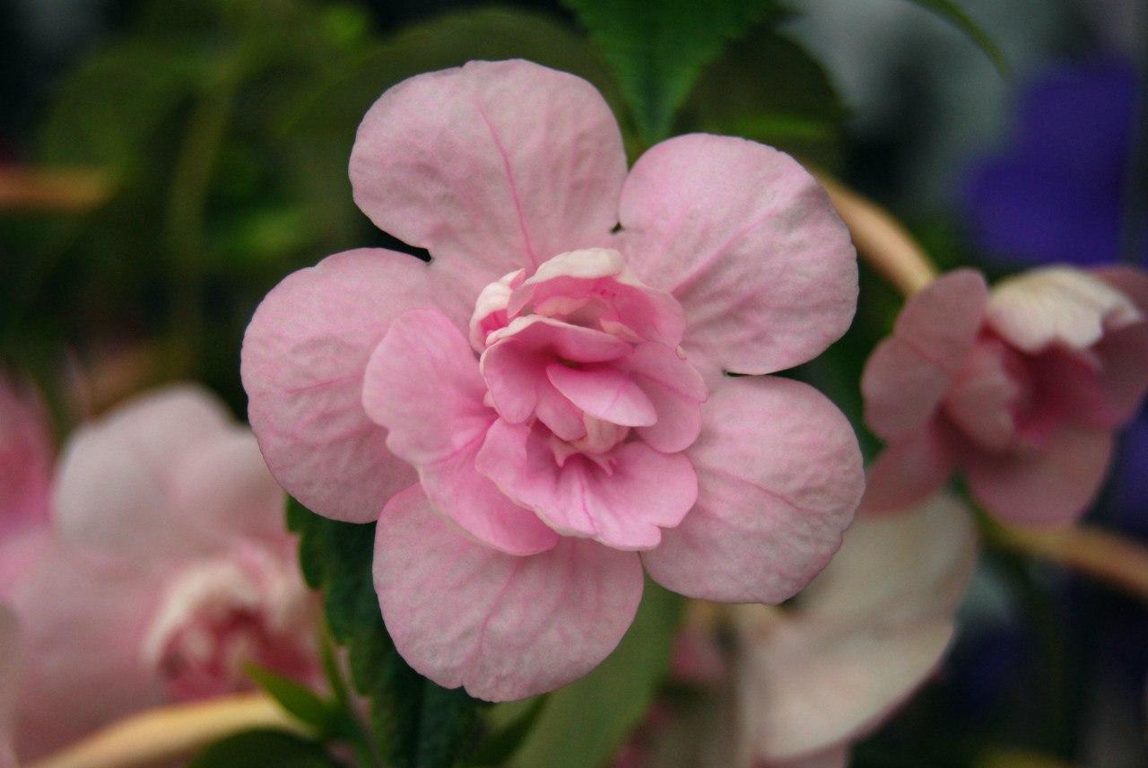 ахименесы розовые махровые фото этот легкий салатик
