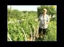 Отказалась от теплицы, томаты в парнике