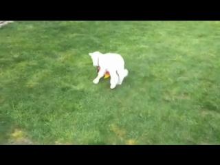 Lucy the pet lamb plays ball (online-video-cutter.com)