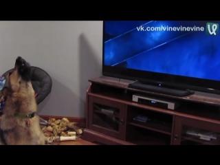 Пёс смотрит Зверополис