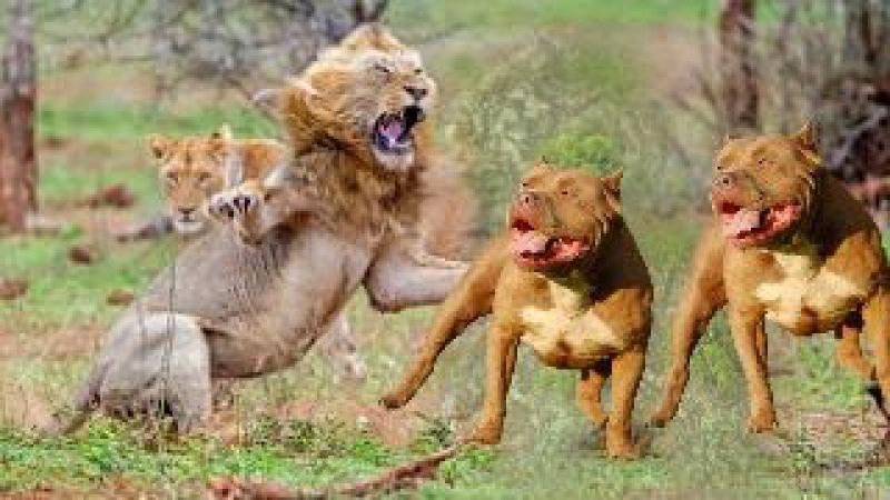 5 PİTBULL mu ASLAN mı ►► En Güçlü Köpekler | Vahşi Hayvan Saldırıları | LİON ATTACK