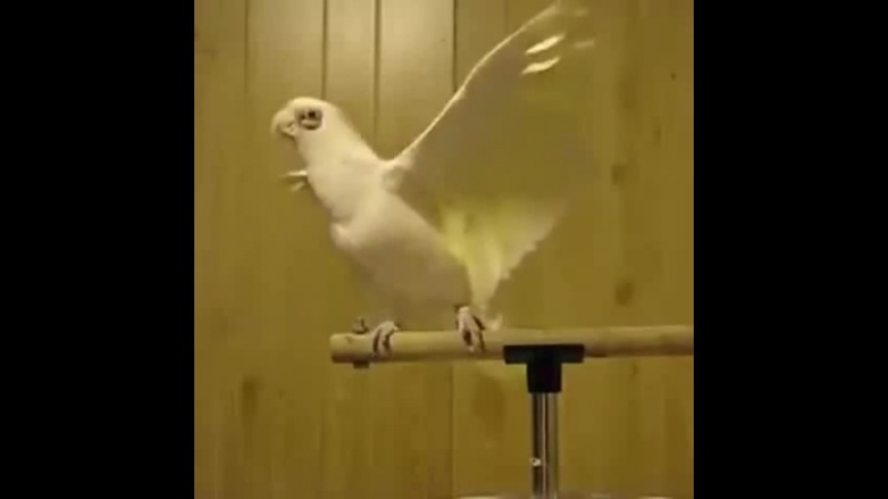 Bet you can't do it like parrot