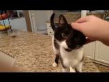 Кот Джек с самым низким в мире «Мяу» взорвал сеть