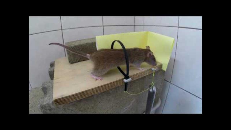 Капкан для крыс