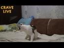 Прикол с котом Барсом воителем