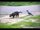 Ворона унижает кота.AVI