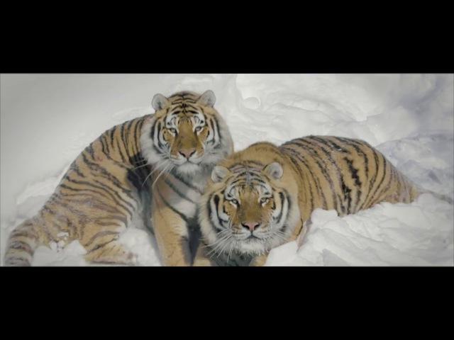 Drone Tigers