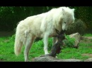 Wolves eat Rabbit and Chicken - Howling Wolf Hungry Wolves - Great Scene
