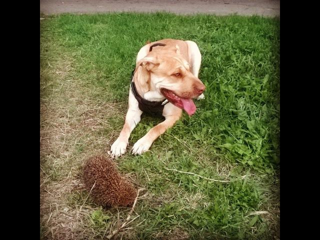 Переводчик с собачьего с Цезарем Милано «Испуганная семейная собака», «Дайте м ...