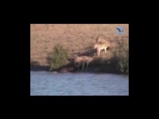 Озвучка превратила передачу о животных в остросюжетный триллер! (6 sec)