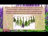Шалфей - полезные свойства и применение. ПРИМЕНЕНИЕ шалфея для здоровья и красоты