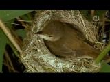 BBC. Мир природы. Кукушка (2007)