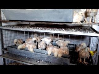 Цыплята минимясные палевые,клетки для кур.