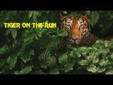 В поисках людоеда. Голодные тигры. Документальные фильмы National Geographic. Nat Geo WILD HD