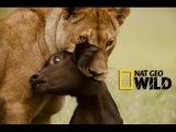 В поисках людоеда. Нападения львов. Документальные фильмы National Geographic. Nat Geo WILD HD