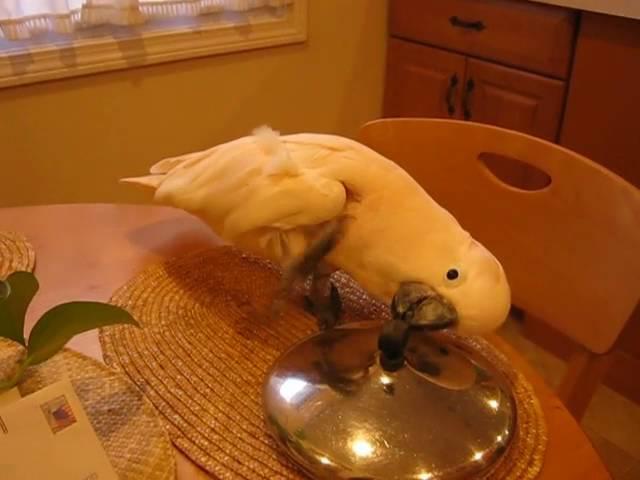 Cockatoo Discovers Pot Cover