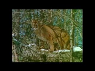 Рысь против кугуара (Lynx vs Cougar)