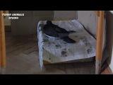 Голуби - Птенцы голубей - Голубиная сага - 22 серия