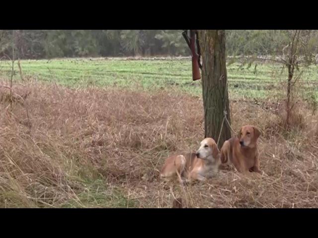 Охота с гончими на лис в HD