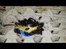 Кормление мраморных тараканов nauphoeta cinerea. Speckled cockroach. Feeding time. 24.07.2016