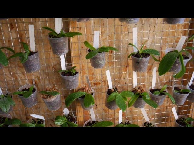 Как полить орхидеи на стеллаже Полив у Швертера