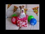 Taffy's 5th Birthday Foxterrier Фокстерьер Тэффи пять лет!!