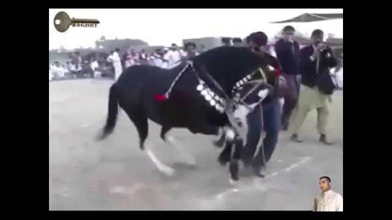Арабский жеребец танцует лезгинку