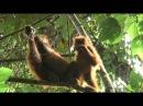 Orangutans eating slow loris