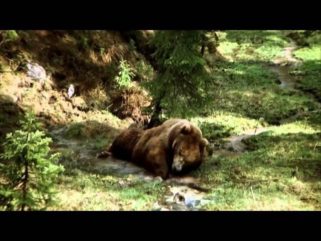 Медведь. Судьба сводит вместе осиротевшего медвежонка и огромного раненого мед ...