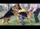 Вязка Собак. Строптивая Невеста Вольфа. Dogs Mating. German Shepherds.