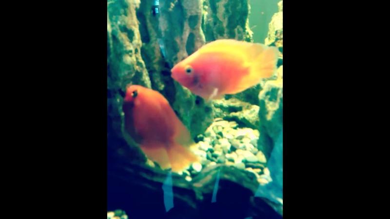 Рыбки целуются^^